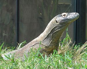 English: Komodo dragon in the Smithsonian Nati...