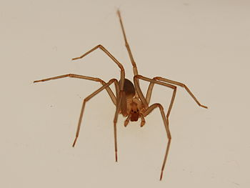 English: Adult male brown recluse spider anter...