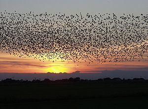 Starlings forming fascinating formations over ...