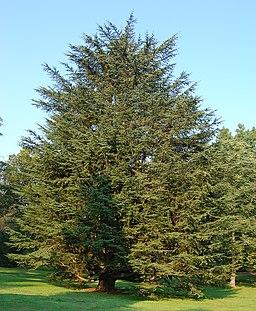 Atlas Cedar Cedrus atlantic Tree 1909px