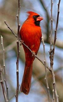 نتيجة بحث الصور عن طائر الكاردينال