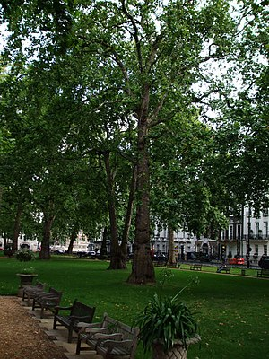 English: Plane Tree Plane Trees in Berkeley Sq...