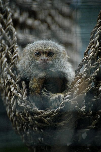 File:Pygmy Marmoset Perth Zoo.jpg