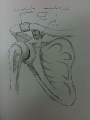 Hand drawn illustration of the shoulder anatomy