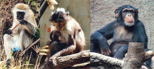 https://i1.wp.com/upload.wikimedia.org/wikipedia/commons/thumb/9/93/SIV_primates.jpg/640px-SIV_primates.jpg