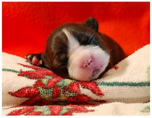 8 day old Boston Terrier (December 2006). Phot...