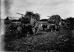 English: Ox-wagons transporting harvested suga...
