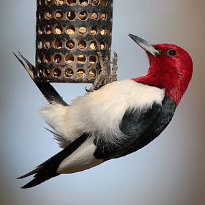 English: Red-headed Woodpecker (Melanerpes ery...