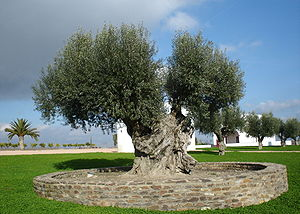 Large olive tree - Portugal