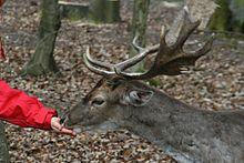 Fütterung eines freilaufenden Tieres im Wildpark Germerode