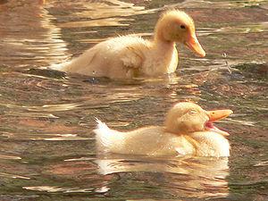 English: Ducks Русский: Утята. Հայերեն: Բադիկներ.