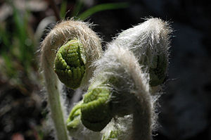 English: Fiddlehead ferns