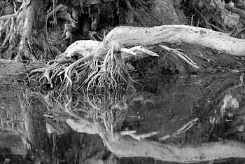 Black and white image of a fallen tree on an i...