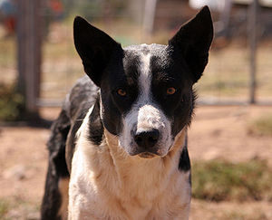 A common Australian working dog - a border col...
