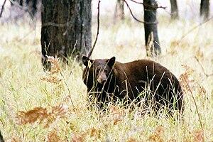 English: American Black Bear in Yosemite Valley.