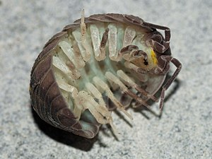 English: Armadillidium granulatum Brandt, 1833...