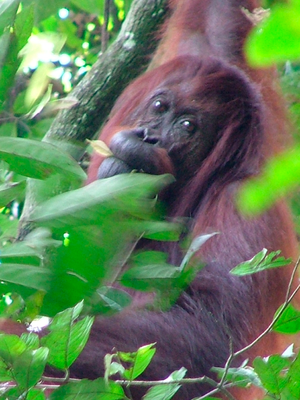 English: Ongoing deforestation and palm oil pl...