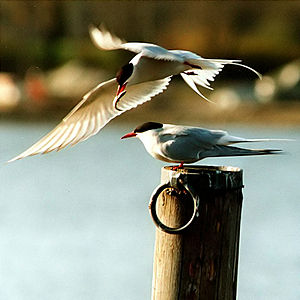 Arctic Terns migrate to Baffin Island every spring