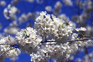 Cherry blossoms (sakura), often simply called ...