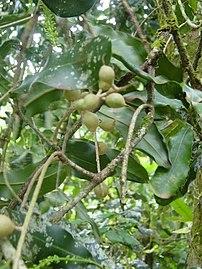 Macadamia integrifolia foliage and nuts