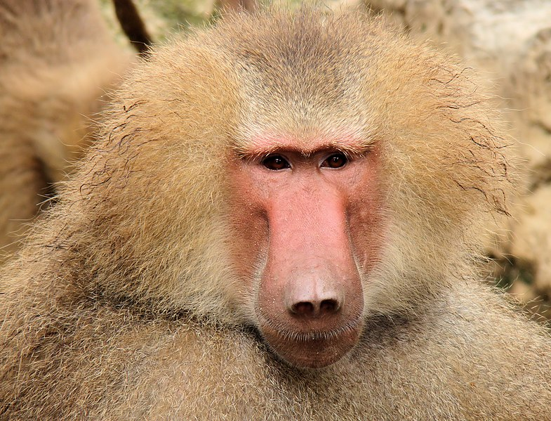 A not-quite-happy baboon