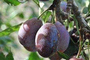 Français : Prune d'Ente Belle pruine sur le fr...
