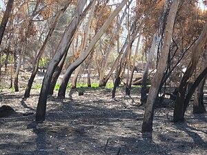 English: Eucalyptus trees in the San Dieguito ...