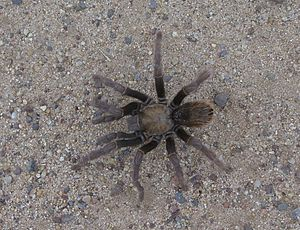 Aphonopelma genus of Tarantula in the Santa Ro...