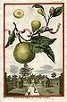 Title: Limon Bergamotto Personzin Gientile Ill...