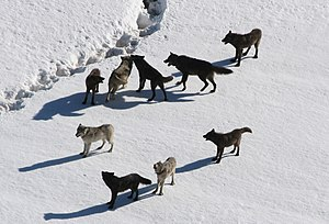 The Gibbon wolf pack pauses in the snowy lands...