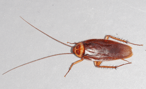 The american cockroach, Periplaneta americana....