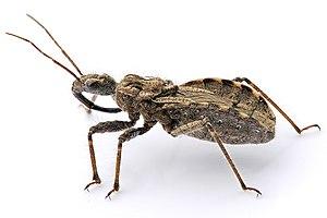An assassin bug