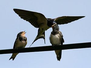 Barn Swallow (Hirundo rustica) Photo taken at ...
