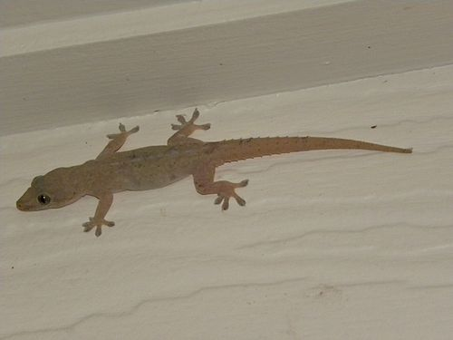 Common House Gecko in Australia (click to embiggen)