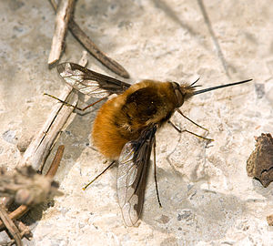 Deutsch: Grosser Wollschweber (Bombylius major...
