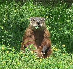 Groundhog, eating