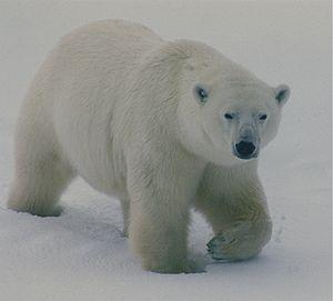 English: Polar bears in Churchill, Canada.