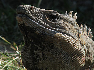 English: One of the many tame iguanas in Tulum...