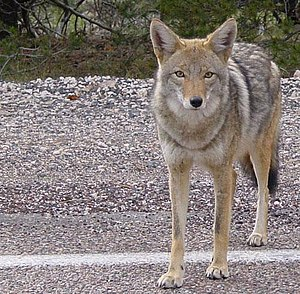 A coyote standing by a road in Arizona