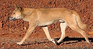 Dingo walking. Image cropped from Wikimedia Co...