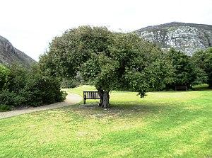 English: Maytenus acuminata. The Silky bark tr...