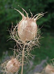 Nigella damascena का बीज कोष