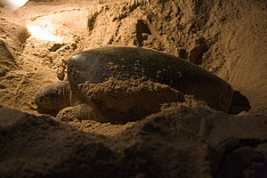 Green turtle nesting at Ras al-Jinz, Oman