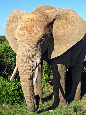 African Elephant in South Africa