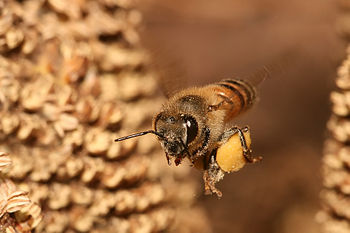 A European Honey Bee (Apis mellifera) flying b...