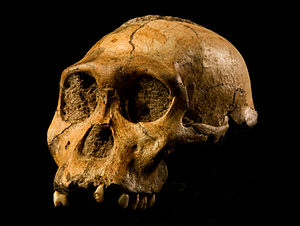 English: The cranium of Malapa hominid 1 (MH1)...