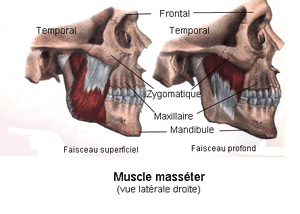 Muscle masséter. Vue latérale droite. Anatomie...