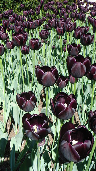 https://i1.wp.com/upload.wikimedia.org/wikipedia/commons/thumb/9/99/Tulipe_noire.JPG/338px-Tulipe_noire.JPG