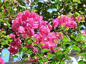 Flowers on Key West