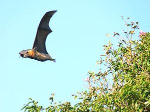 Flying fox at the Royal Botanic Gardens, Sydne...